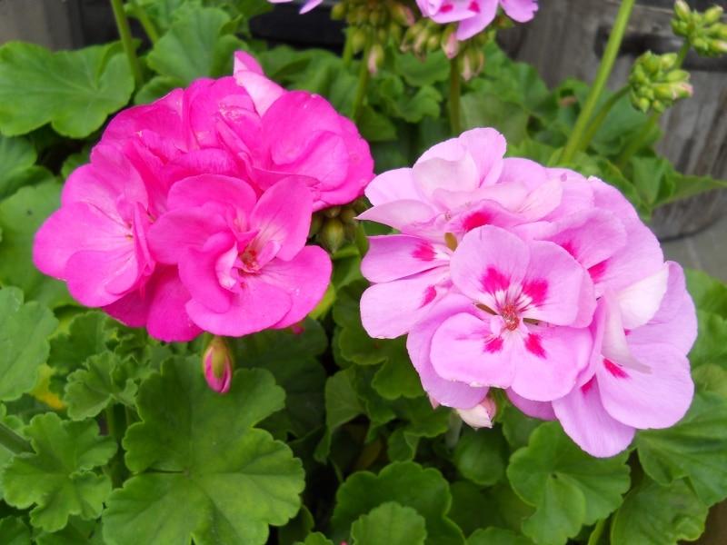 Jadalne Kwiaty Popularnych Roslin Porady Leroy Merlin