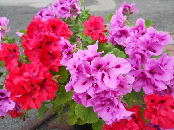 Pelargonie Kwiaty Idealne Na Balkon Porady Leroy Merlin