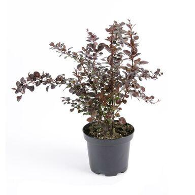Berberys Thunberga 'Atropurpurea' 30 cm
