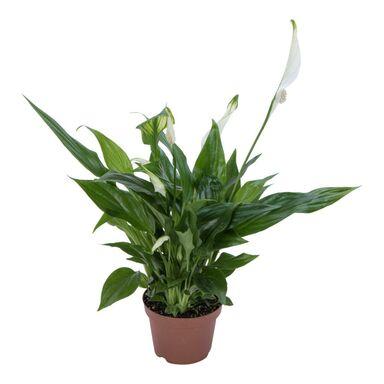 Skrzydłokwiat 30 cm AIR SO PURE
