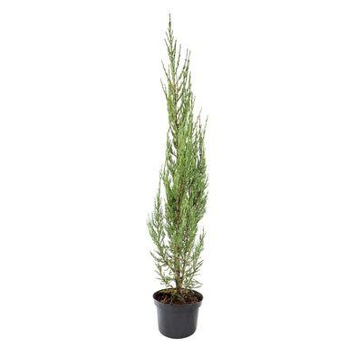 Roślina ogrodowa Jałowiec skalny 'Blue Arrow' 80 - 100 cm