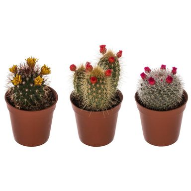 Kaktus dekorowany MIX 15 cm