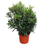 Oleander MIX 160 - 180 cm