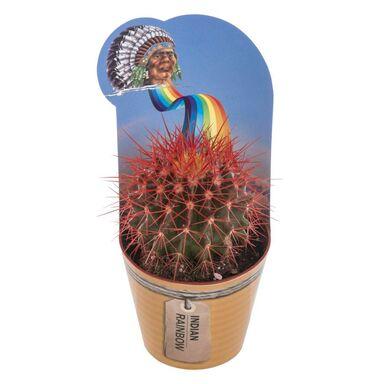 Kaktus Indian Rainbow MIX 10 cm