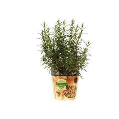 Rośliny przyprawowe MIX 20 - 30 cm KUCHNIE ŚWIATA