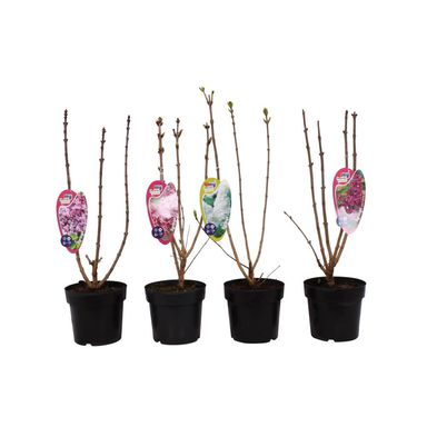 Roślina ogrodowa MIX Lilak 30 - 40 cm