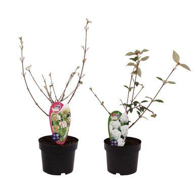 Roślina ogrodowa Kalina Ann Russel/ Eskimo 30 - 40 cm