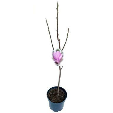 Magnolia MIX 60 - 80 cm