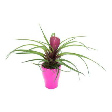 Bromelia mini MIX 20 cm