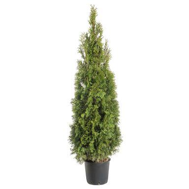 Żywotnik zachodni 'Smaragd' 140 - 160 cm