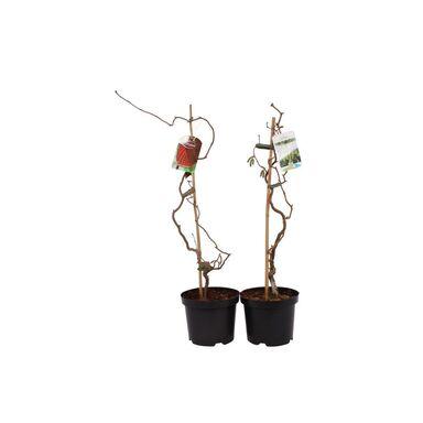 Leszczyna czerwona / zielona 50 - 60 cm