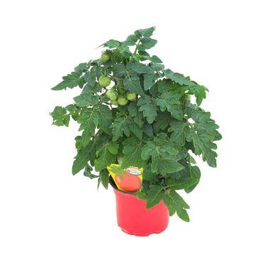 Pomidor MIX 20 - 30 cm TWOJA PLANTACJA