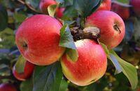 Jabłoń we własnym ogrodzie – jakie drzewa sprawdzą się najlepiej?