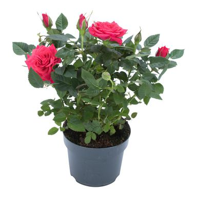 Róża miniaturowa MIX 28 cm