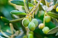 Tam gdzie rosną oliwki