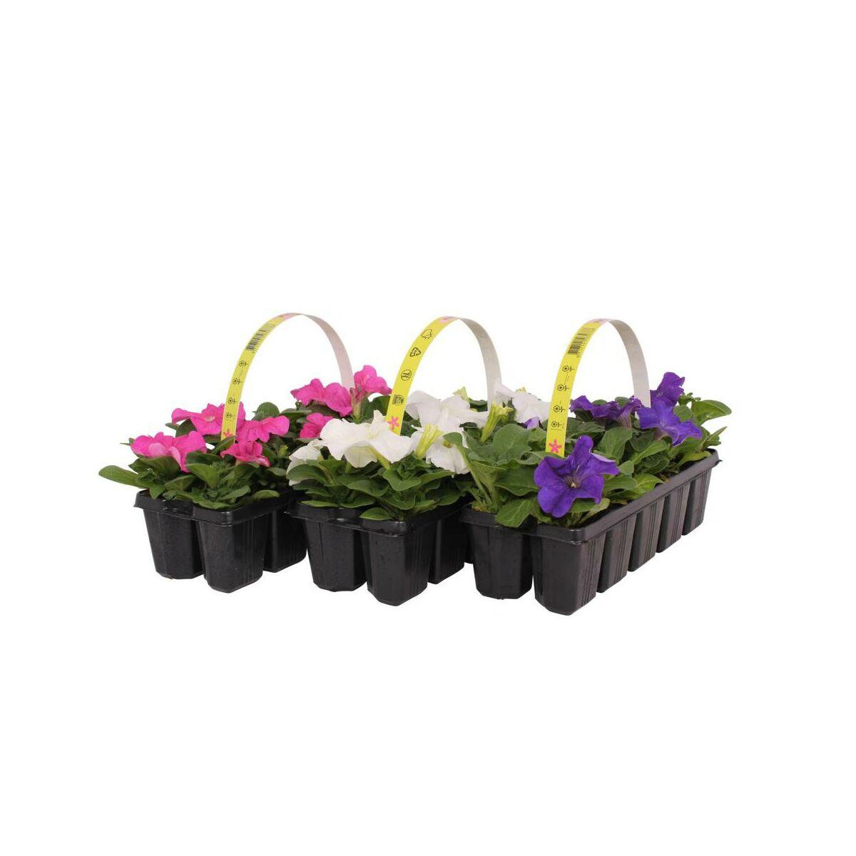 Petunia Mix 10 15 Cm 10 Pak Kwiaty Balkonowe I Ogrodowe W Atrakcyjnej Cenie W Sklepach Leroy Merlin