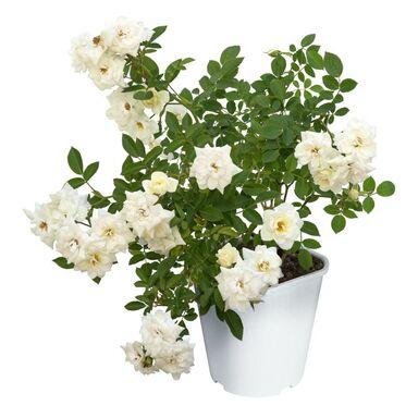Róża okrywowa MIX 90 cm
