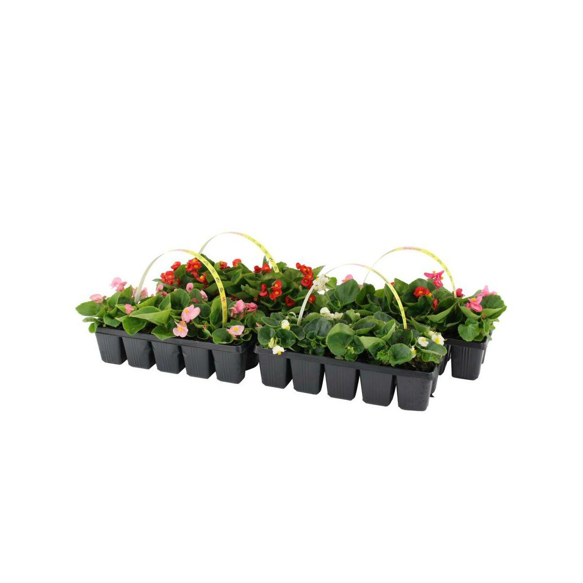 Begonia Mix 10 15 Cm 10 Pak Kwiaty Balkonowe I Ogrodowe W Atrakcyjnej Cenie W Sklepach Leroy Merlin