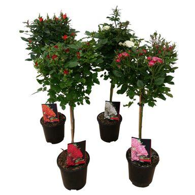 Róża MIX 90 - 100 cm