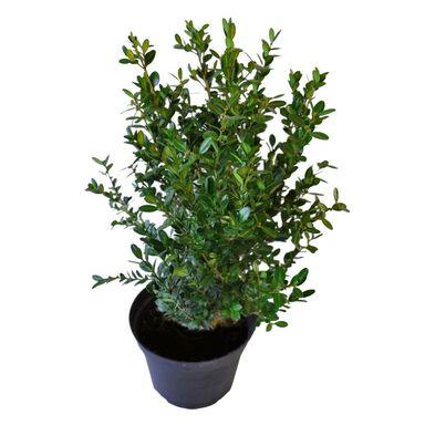 Roślina ogrodowa Bukszpan drobnolistny 'Faulkner' 15 - 20 cm