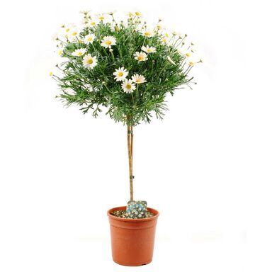 Margerytka (Złocień krzewiasty forma pienna) 60 - 70 cm