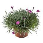 Goździk ogrodowy 20 - 30 cm