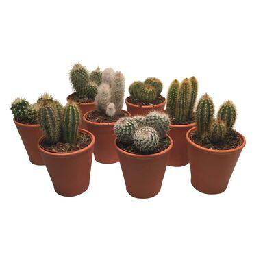 Kaktus W Doniczce Glinianej Mix 20 Cm