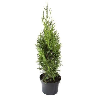 Żywotnik zachodni 'Smaragd' 60 - 80 cm