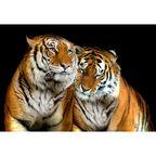Fototapeta TIGERS 184 x 254 cm