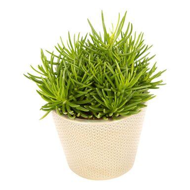 Rośliny zielone MIX 20 cm w osłonce ceramicznej