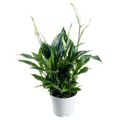 Skrzydłokwiat 40 cm