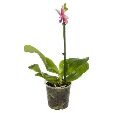 Storczyk Falenopsis 'Liodoro' 1 pęd 40 cm