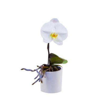 Storczyk Falenopsis Singolo 1 pęd 30 cm