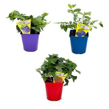 Krzewy owocowe MIX 40 - 60 cm
