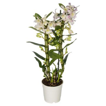 Kwiaty Doniczkowe Leroy Merlin