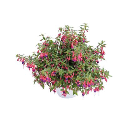 Krzew MIX Fuksja 50 - 60 cm