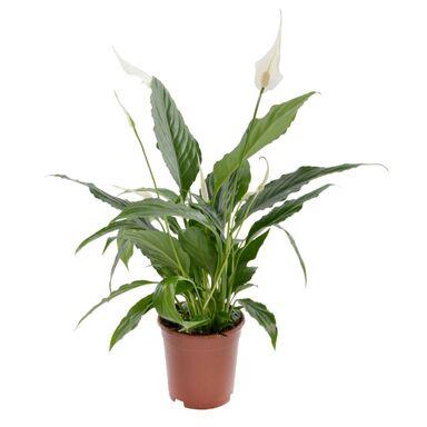 Skrzydłokwiat 60 cm