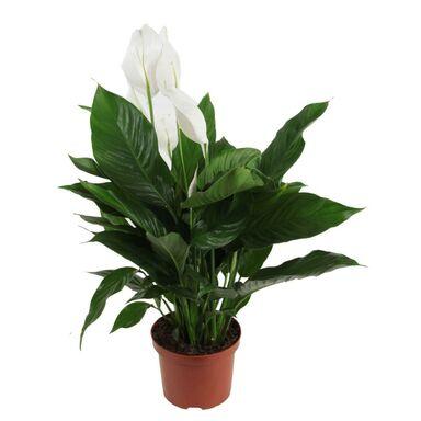 Skrzydłokwiat 75 cm