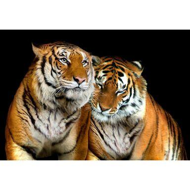 Fototapeta TIGERS 416 x 254 cm