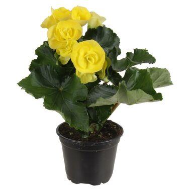 Begonia zimowa MIX 22 cm