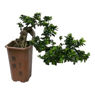 Bonsai Ficus Ginseng Cascade 70 cm