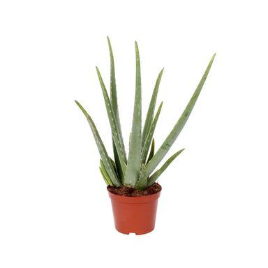 Aloes 45-55 cm
