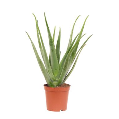 Aloes 40-45 cm