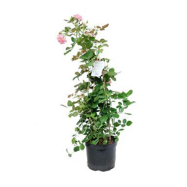 Róża MIX 95 cm