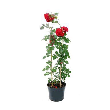 Róża pnąca MIX 100 - 110 cm