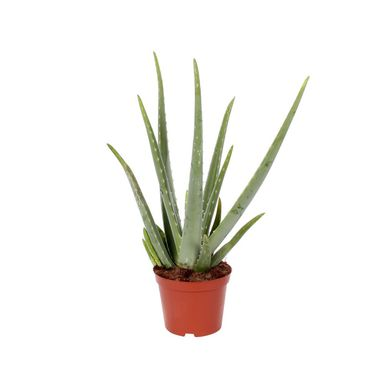 Aloes 50-55 cm