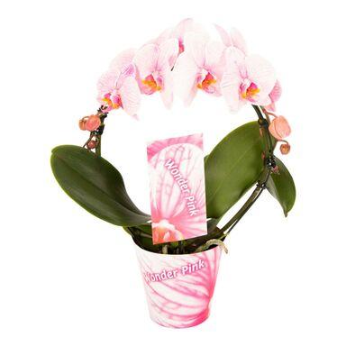 Storczyk Falenopsis Koło 45 cm