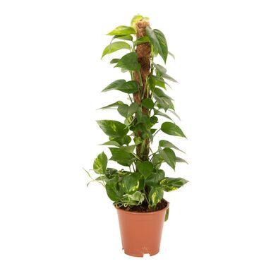 Rośliny zielone MIX 80-90 cm