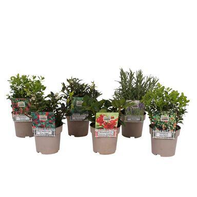 Krzewy liściaste MIX 10 - 20 cm
