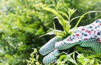 Jak zwalczać chwasty w ogrodzie i na trawniku